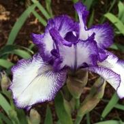Bold Print Iris